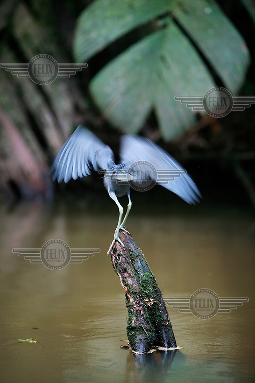 A heron in the Tortuguero National Park. The park extents along the Caribbean coast for 22 km from Jaloba to Tortuguero. It has 11 ecological habitats, from high rainforest to marsh communities. A maze of channels, streams and swamps are home to more than 300 bird species.