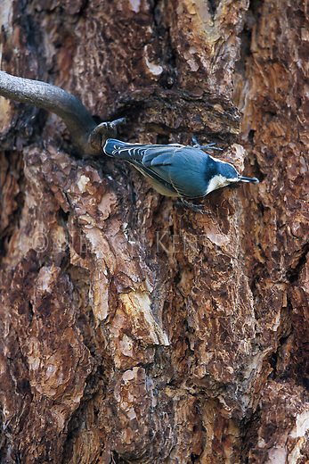 Nuthatch stashing seeds in the bark of a ponderosa pine tree in Montana