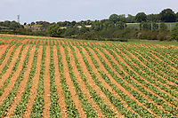 27.5.2020 Sugar beet growing  <br /> ©Tim Scrivener Photographer 07850 303986<br />      ....Covering Agriculture In The UK....