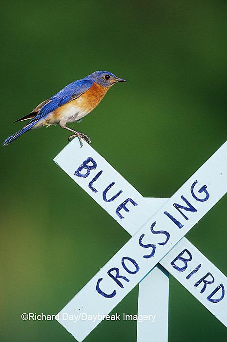 01377-15804 Eastern Bluebird (Sialia sialis) male on Bluebird Crossing sign, Marion Co. IL