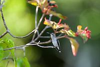 An endemic female Bee Hummingbird (Mellisuga helenae) perched on a Firebush tree (Hamelia patens), showing the characteristic white tips on her retricies. Cuba.