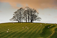 Group of trees in winter, Wigglesworth, North Yorkshire.