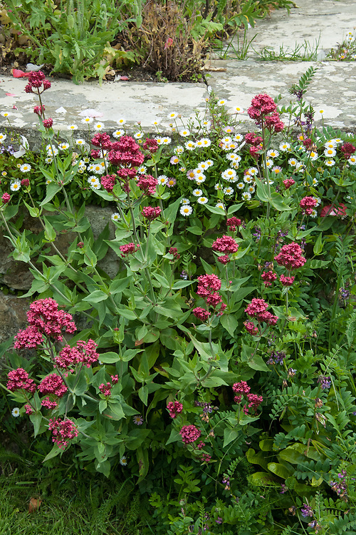Erigeron karvinskianus and Red valerian (Centranthus ruber), Edward Lutyens steps, Great Dixter, late May.