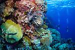 Red lionfish-Rascasse volante (Pterois volitans) of Red sea, Sudan