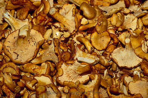 Wild chanterelle mushrooms