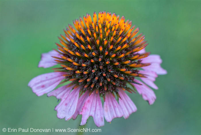 Purple coneflower-Echinacea purpurea-during the summer months in the White Mountains, New Hampshire.