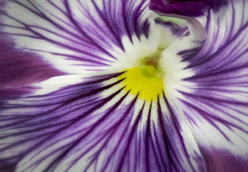 Close up of Viola.-Wooping Purple Whiskers -
