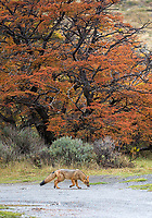 The culpeo is a canid that looks like a cross between a fox and a coyote.