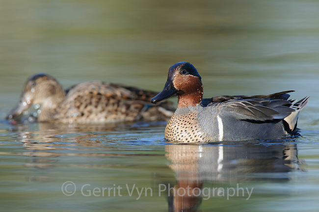 Pair of adult Green-winged Teal (Anas carolinensis). King County, Washington. April.