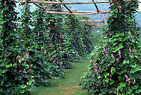 Purple pole beans, trellis #5948. Virginia.
