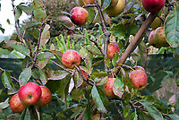 Apples growing ripe, Falstaff variety Malus domestica