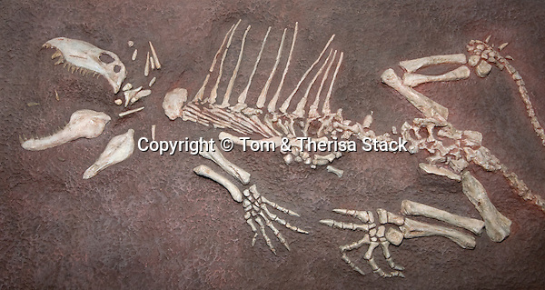 Dimetrodon, Permian