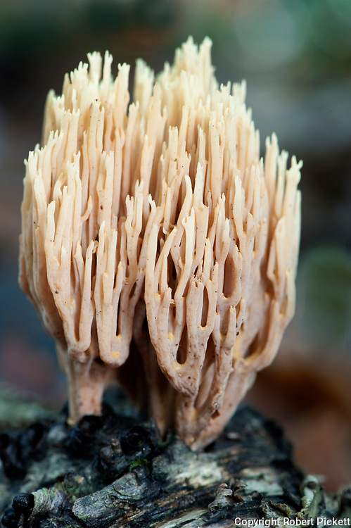 Upright Coral Fungus, Ramaria stricta, Thornden Woodlands, Kent, UK, in autumn, growing on floor of woods, common in deciduous and conifer woodlands