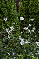 Hibiscus syriacus 'White Diana', White Diana Rose of Sharon flowering shrub in Gamble Garden, Palo Alto, California
