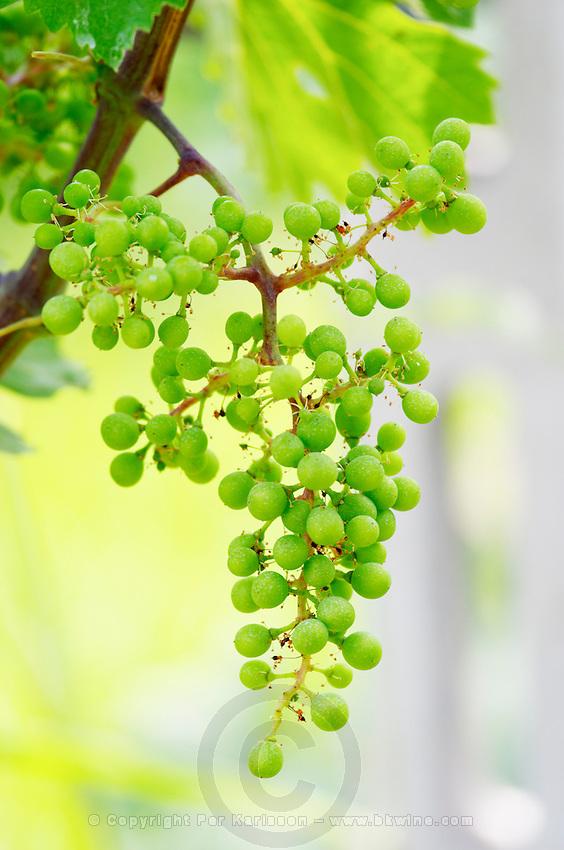 Unripe grapes. Cabernet Franc. Kir-Yianni Winery, Yianakohori, Naoussa, Macedonia, Greece