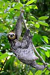 Animais. Mamiferos. Preguiça (Bradypus tridactylus). Foto de Zig Koch.