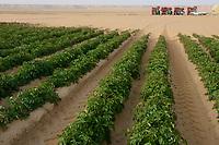 EGYPT, Farafra, potato farming in the desert, Daltex Corporation, the round fields are irrigated by pivot circle irrigation, the fossile groundwater from the Nubian Sandstone Aquifer is pumped from 1000 metres deep wells  / AEGYPTEN, Farafra, Daltex Corporation, Kartoffelanbau in der Wueste, die kreisrunden Felder werden mit Pivot Kreisbewaesserungsanlagen mit fossilem Grundwasser des Nubischer Sandstein-Aquifer aus 1000 Meter tiefen Brunnen bewaessert