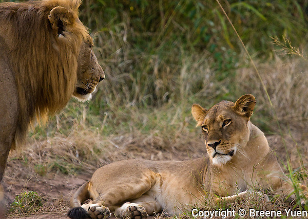 A young lion approaches his lioness near Zambezi River, Zimbabwe, April 2008