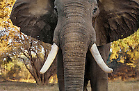 Aggressive (Bluff Charge) African Elephant bull. (Loxodonta Africana) Africa.