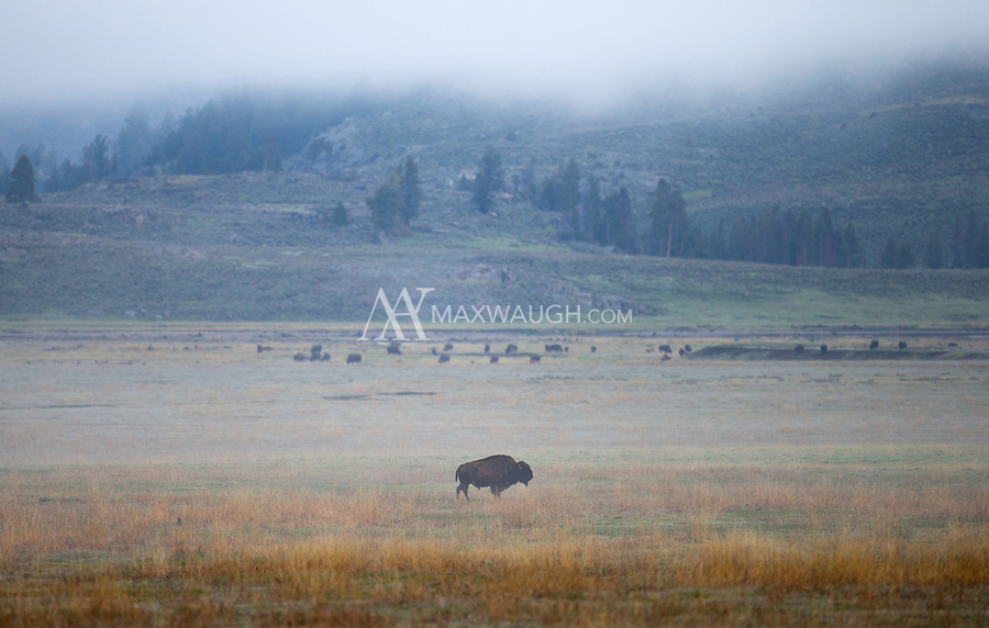 Bison on a foggy morning in the Lamar Valley.