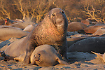 Elephant seals at Ano Nuevo State Park, CA.  FB- S176  Back small photo for 4x6 postcard.  Crop to square.