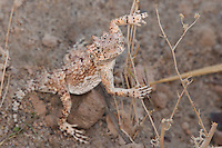 437800002 a wild southern desert horned lizard phrynosoma platyrhinos calidiarum found along chalk bluffs road in owens valley inyo county california united states