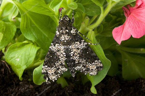 Rustic Sphinx Moth, Manduca rustica on Petunia