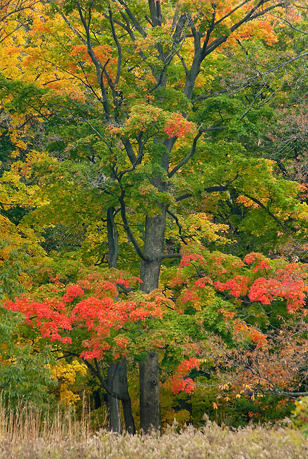 Maple trees show off their brilliant fall color at Ryerson Woods Conservation Area in Lake County, Illlinois