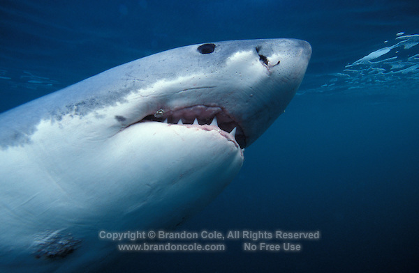 nj16. Great White Shark (Carcharodon carcharias). South Africa, Atlantic Ocean..Photo Copyright © Brandon Cole. All rights reserved worldwide.  www.brandoncole.com..This photo is NOT free. It is NOT in the public domain. This photo is a Copyrighted Work, registered with the US Copyright Office. .Rights to reproduction of photograph granted only upon payment in full of agreed upon licensing fee. Any use of this photo prior to such payment is an infringement of copyright and punishable by fines up to  $150,000 USD...Brandon Cole.MARINE PHOTOGRAPHY.http://www.brandoncole.com.email: brandoncole@msn.com.4917 N. Boeing Rd..Spokane Valley, WA  99206  USA.tel: 509-535-3489