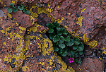 James' saxifrage (Boykinia jamesii) growing among lichen-covered rocks, Pikes Peak, CO