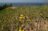 Yellow wildflowers burst forth from the Grand Sable Dunes on Lake Superior in Pictured Rocks National Lakeshore near Grand Marais Michigan.