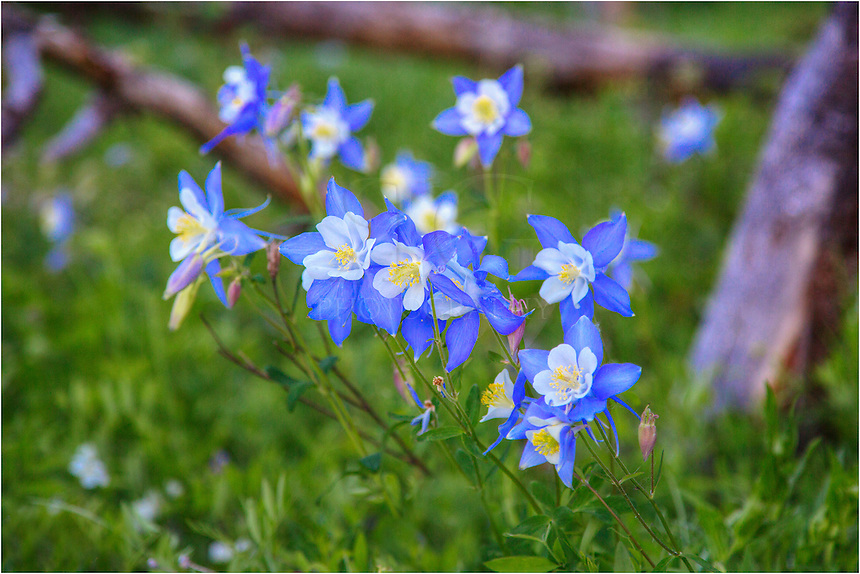 Nestled in a small clearing in the forest near Winter Park, Colorado, I know a group of beautiful columbine that appear every year. These Colorado wildflowers are usually the first of these flowers I see every summer. I love my time composing these images of such delicate golds and blues.