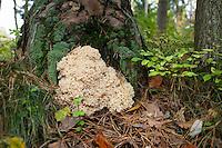 Krause Glucke, Fette Henne, wächst am Stammgrund einer Kiefer, Sparassis crispa, Wood Cauliflower, cauliflower mushroom