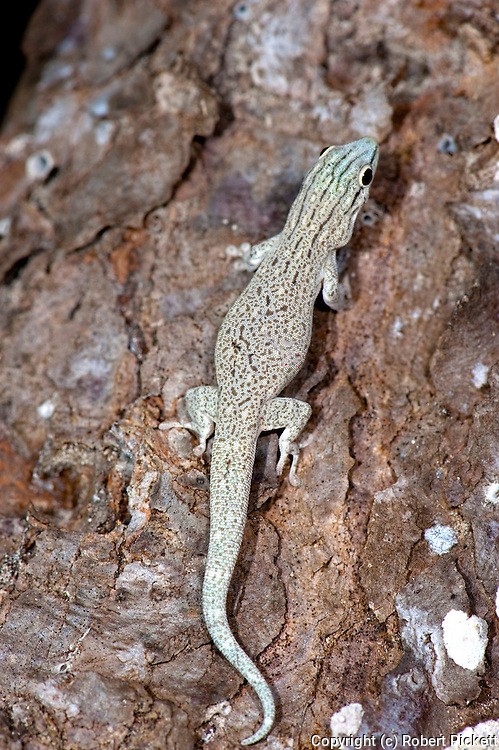 Gecko, Species unknown, Ifaty, Madagascar, on tree,