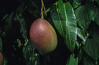 Fruit of Mangifera indica