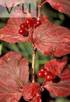 Highbush Cranberry berries ,Viburnum trilobum,, North America.