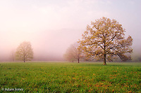 Tree in foggy meadow<br /> Cades Cove<br /> Great Smoky Mountains N.P. TN