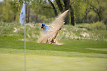 19 MAY 2016: Cody Troutman of Central Oklahoma hits out of the bunker during the 2016 Division II Men's Individual Golf Championship held at Green Valley Ranch Golf Club in Denver, CO. Justin Tafoya/NCAA Photos