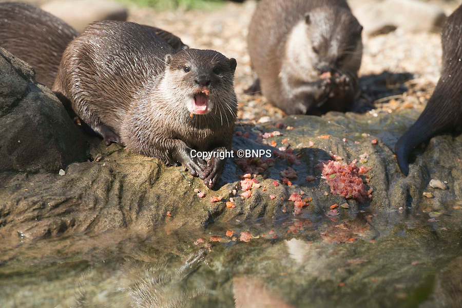 BNPS.co.uk (01202 558833)<br /> Pic: LauraDale/BNPS<br /> <br /> One of Britain's premier fisheries has spent tens of thousands of pounds on erecting fencing to protect its prized fish from being slaughtered by otters.<br /> <br /> More than two miles of 6ft tall wire fencing now surrounds the two lakes at the fishery that are filled with huge carp, including Britain's biggest weighing 80lbs.<br /> <br /> Large coarse fish can be worth as much as £30,000 a piece as they attract anglers who pay good money for the chance to catch them.<br /> <br /> But in recent years carp and barbel fish have been threatened by the resurgence of the wild otter population in Britain.<br /> <br /> Wingham Fisheries in Canterbury, Kent, has become the latest fishery to take the drastic action of fencing off their rural lakes.