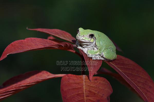 Gray Treefrog (Hyla versicolor), Hill Country, Texas, USA