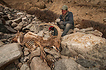 Snow Leopard (Panthera uncia) biologist, Shannon Kachel, taking notes on Siberian Ibex (Capra sibirica) male killed by snow leopard, Sarychat-Ertash Strict Nature Reserve, Tien Shan Mountains, eastern Kyrgyzstan