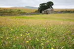 Hay meadow detail, Kilnmire Farm, Ravenstonedale, Cumbria, UK