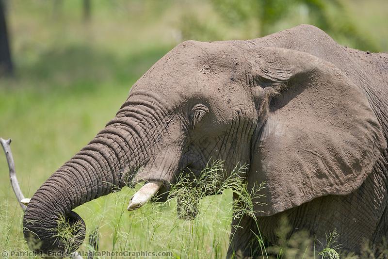 African Elephant, Serengeti National Park, Tanzania, East Africa