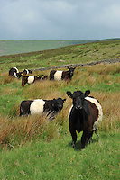 Belted Galloway cattle near Slaidburn, Lancashire...Copyright..John Eveson, Dinkling Green Farm, Whitewell, Clitheroe, Lancashire. BB7 3BN.01995 61280. 07973 482705.j.r.eveson@btinternet.com.www.johneveson.com