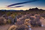 Evening light over desert flora, near Quail Springs, Joshua Tree National Park, California