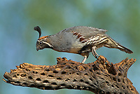 574470026 a wild male gambel's quail callipepla gambelli perches on a dead cholla plant skeleton in green valley arizona united states