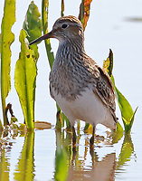 Pectoral sandpiper in breeding plumage