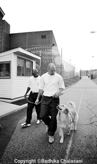 BEACON, NEW YORK-AUGUST:  Tyrone and Andy walk their back prison ward after visiting visit sick prisoners. The patients look forward to the visits which are also used as a training exercise for the puppies as part of the Puppies Behind Bars program. The program works with prison inmates in New York, New Jersey, and Connecticut to train both explosive detection dogs and service dogs, including ones who help injured soldiers or those suffering from post traumatic stress. Fishkill Correctional Facility is a medium security prison in New York with 22 men in the puppy program.
