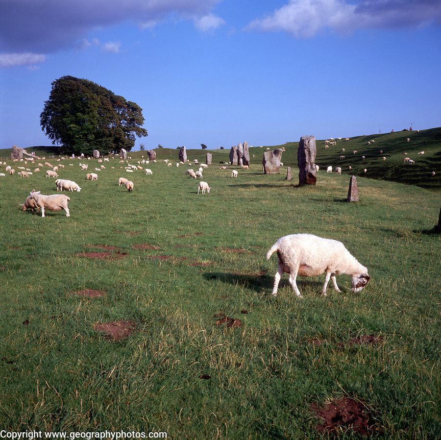 Sheep grazing, Avebury stone circle, Wiltshire, England