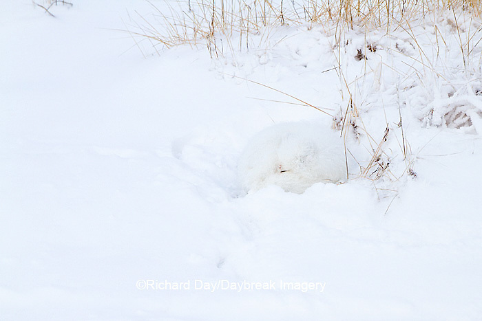 01863-01502 Arctic Fox (Alopex lagopus) curled up along bank in snow Churchill Wildlife Management Area, Churchill, MB